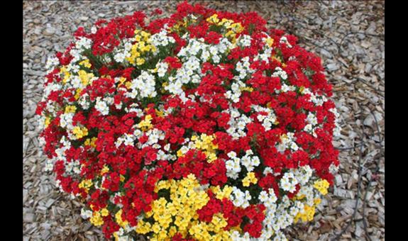 Blumen Gammanick