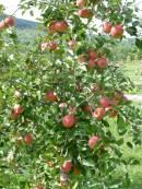 Obstgehölze jetzt pflanzen